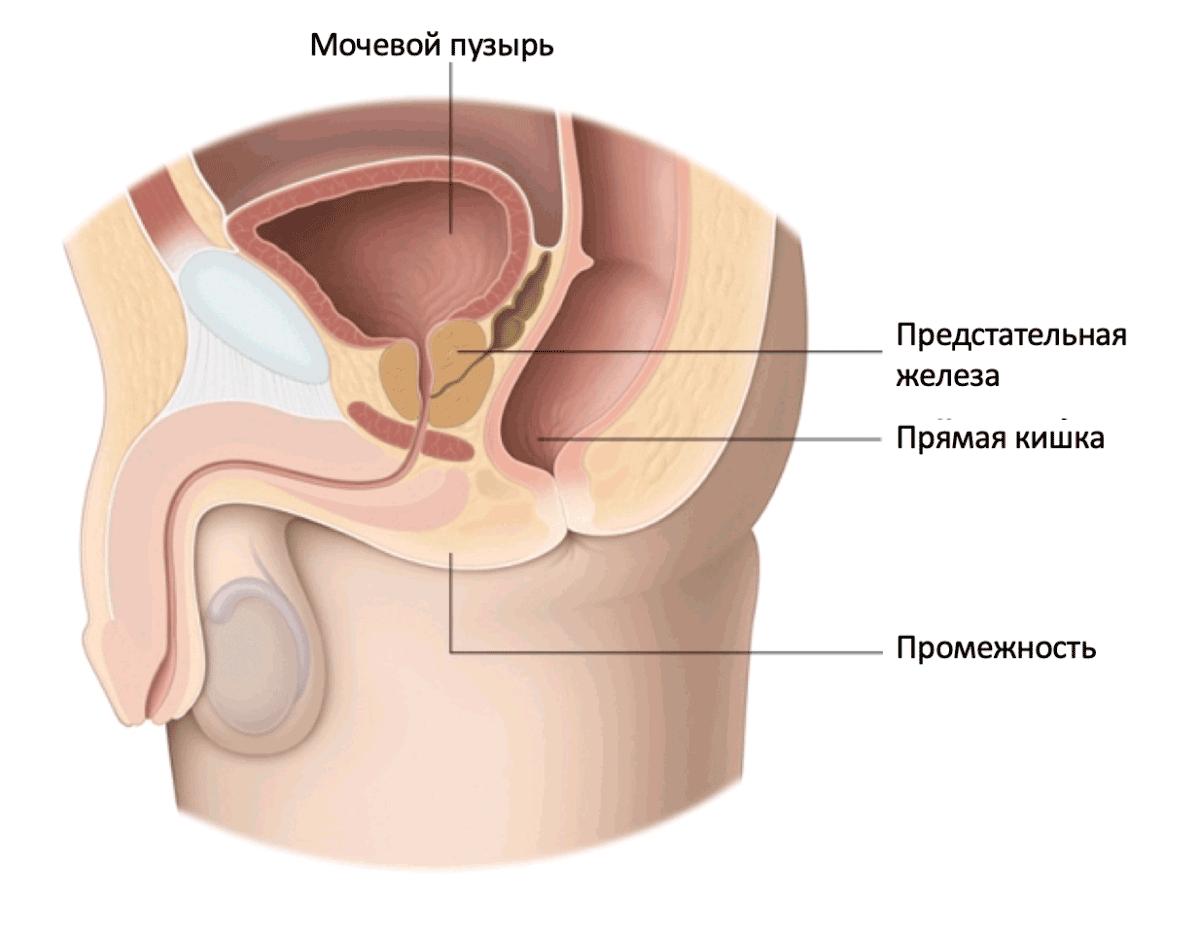 Предстательная железа (на латыни простата) находится под мочевым пузырём, окружая уретру. По размеру простата напоминает крупный каштан.
