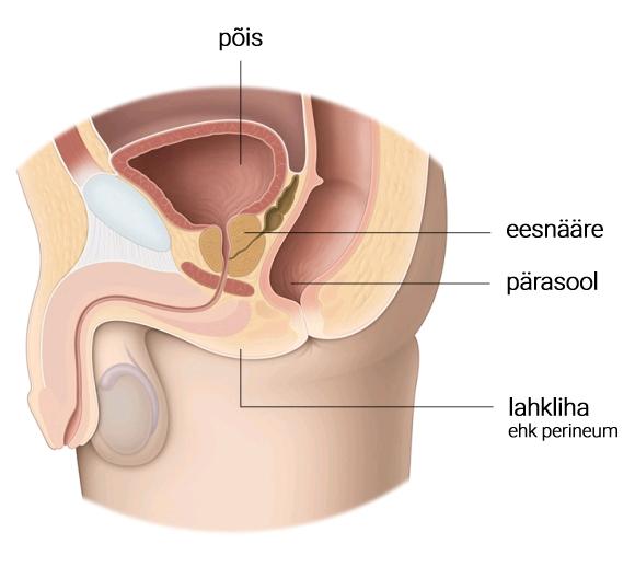 Kastanimuna suurune eesnääre (ladina keeles prostata) asub põie all ja ümbritseb kusetoru.